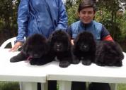 Hermosos cachorros terranova