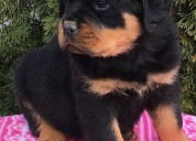 Rottweiler cachorros disponibles