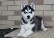 Siberian husky necesita un nuevo hogar (720) 507-8