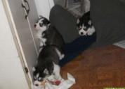Peritos husky en adopcion