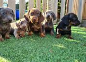 Sobresalientes miniatura dachshund para adopción.