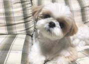 Vendo este cachorro de raza shitzu buen precio