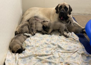 Females and males fawn english mastiff puppies
