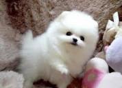 Super adorable teacup pomeranian puppies.