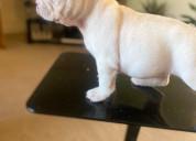 Hermoso bulldog francés disponible